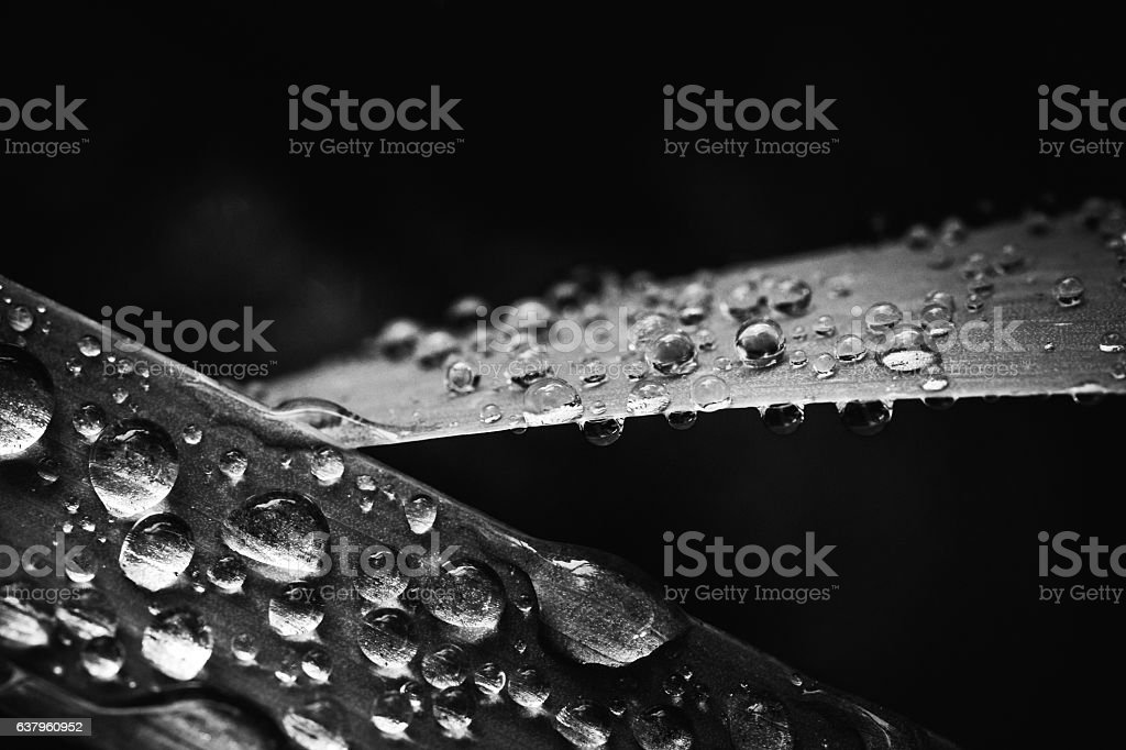 Sparkling Dew Or Raindrops On Leaves - Monochrome Abstract stock photo