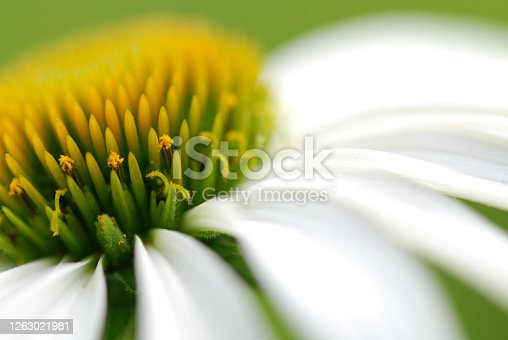 Small jewels that shine in the sun on a white echinacea flower, slightly off-center plan. Close up of a white coneflower.