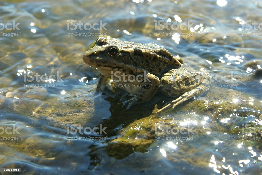 Sparkling water surrounds the frog in the shallows photo libre de droits