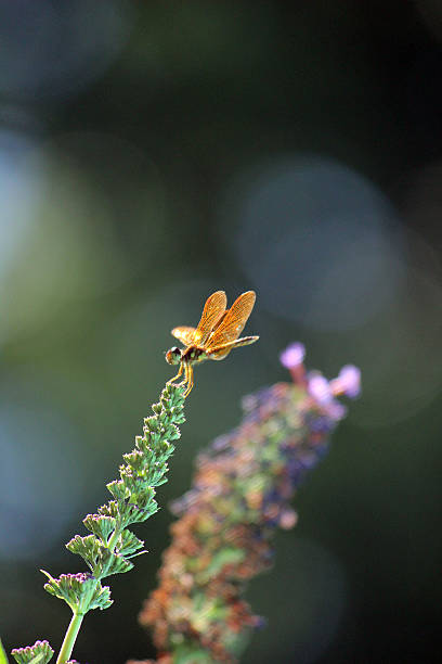 sparkly orange dragonfly perches on butterfly bush flower - pam schodt stock photos and pictures