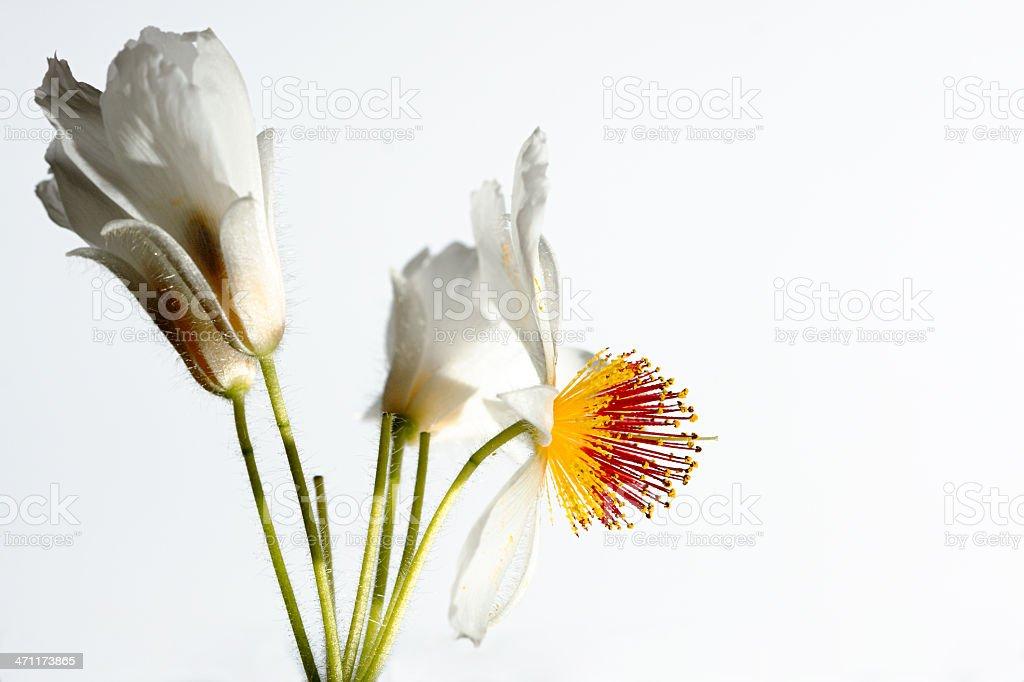 Sparmannia Africana royalty-free stock photo