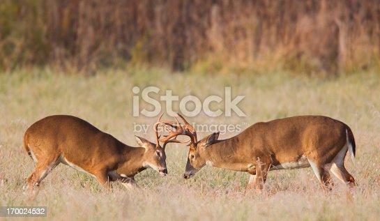 465666157 istock photo Sparring Deer 170024532