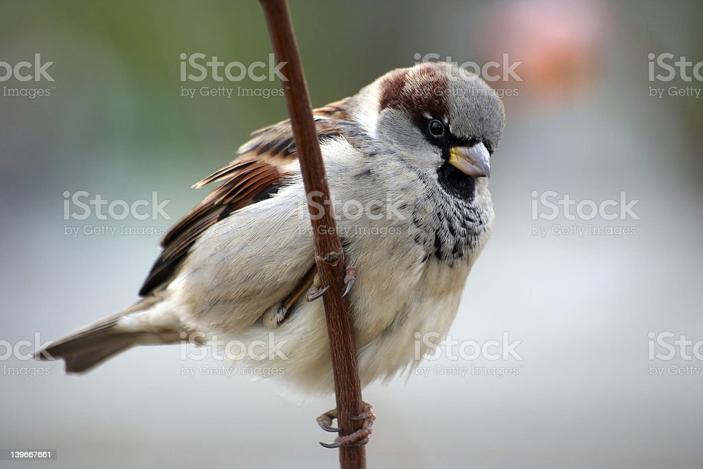 Sparrow aka Passer Domesticus stock photo