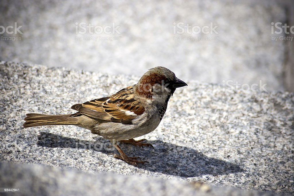 Sparrow aka passer stock photo