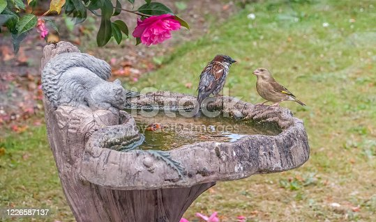 Male sparrow (Passer domesticus) and goldfinch (Carduelis carduelis) on a birdbath in an English country garden, captured from behind the glass window of a greenhouse