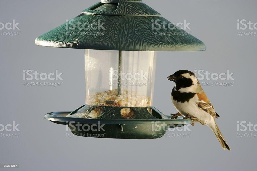 Sparrow at bird feeder royalty-free stock photo