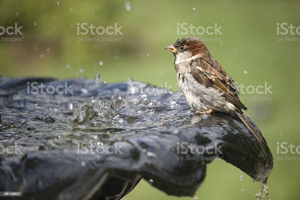 Sparrow at fountain royalty-free stock photo