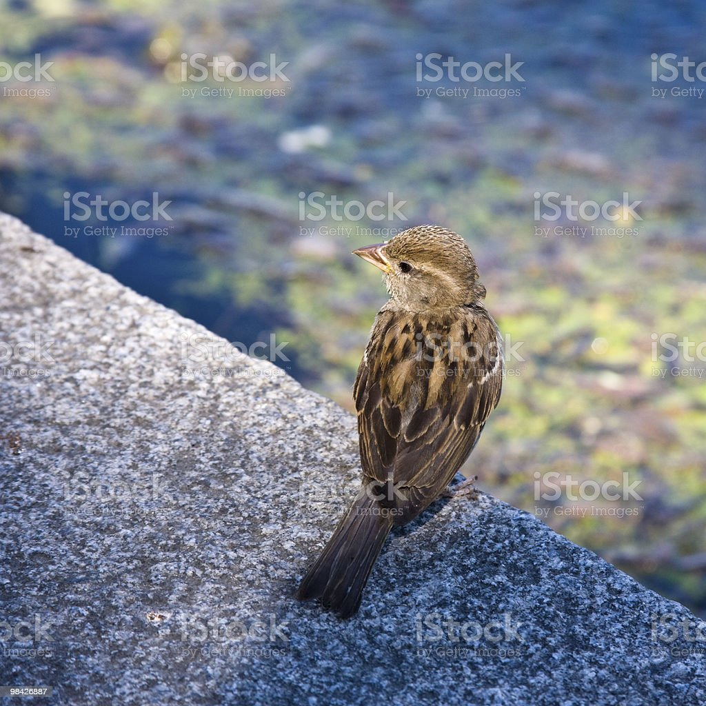 Sparrow at water royalty-free stock photo