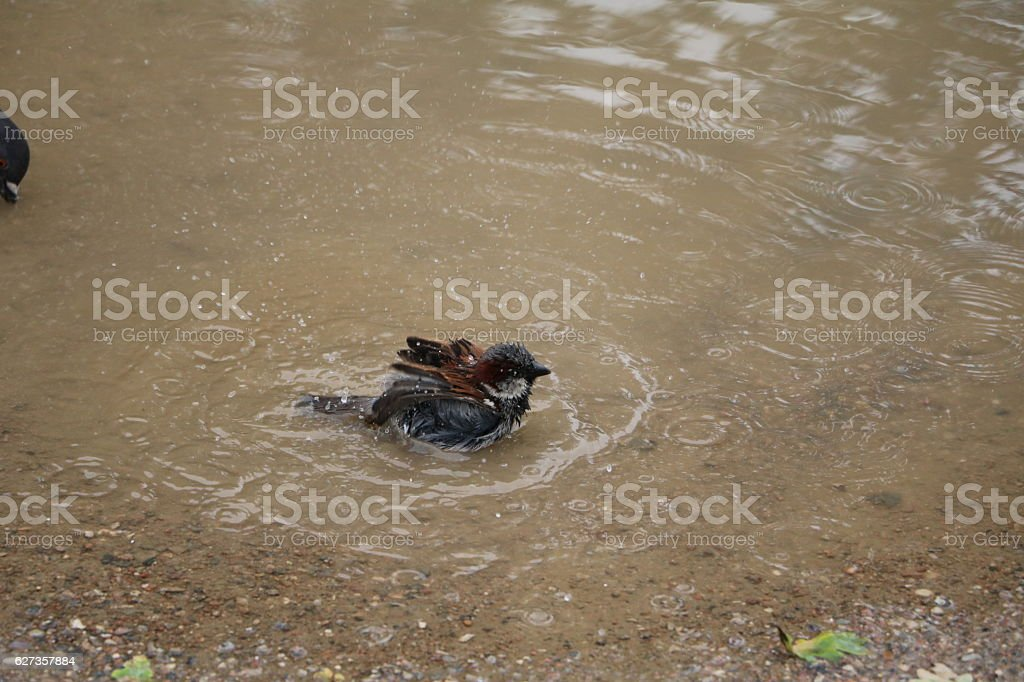 Sparrow bathes in a puddle in Copenhagen, Denmark Scandinavia stock photo