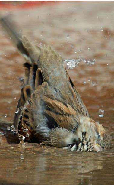 Sparrow bathing stock photo