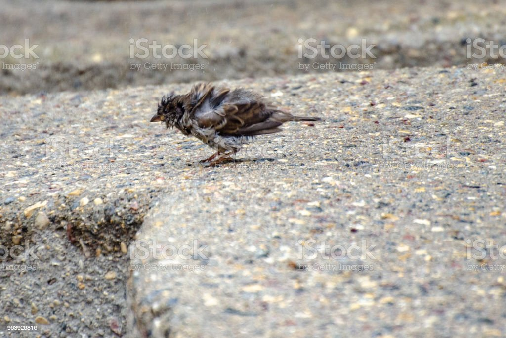 Sparrow caught in the rain - Royalty-free Animal Stock Photo