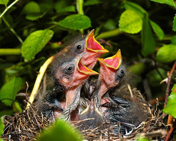 Sparrow chicks. stock photo