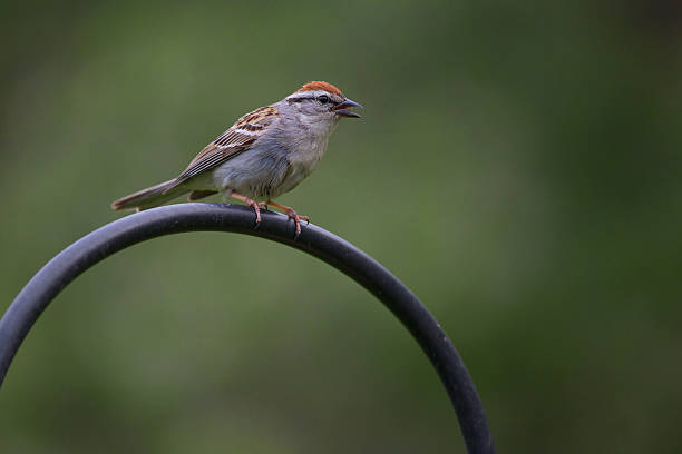 Sparrow - Chipping stock photo
