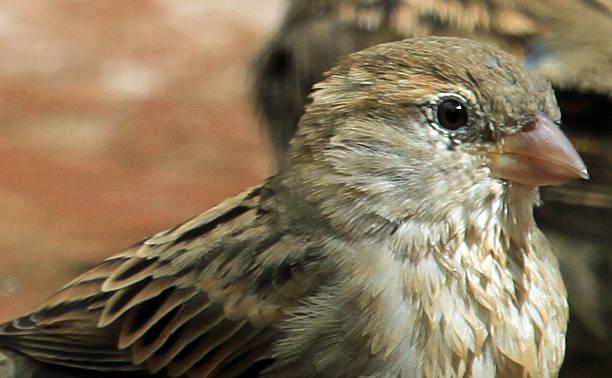 Sparrow closeup stock photo
