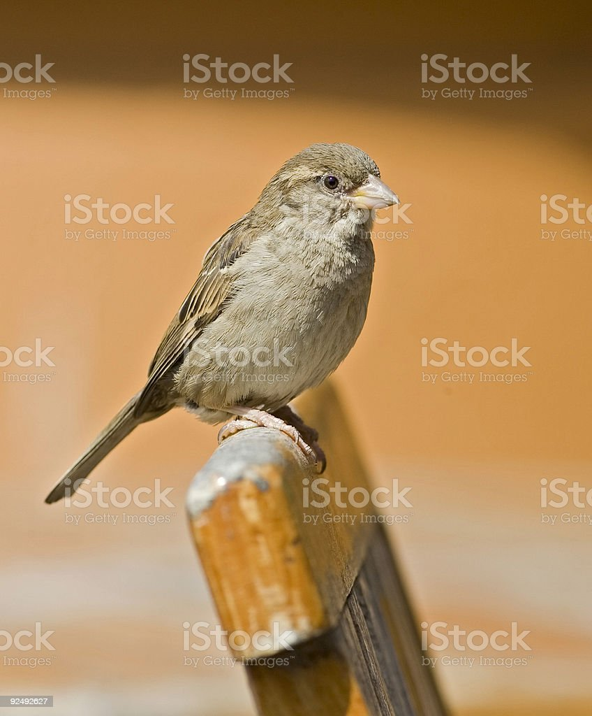 Sparrow (Passer domesticus) female royalty-free stock photo