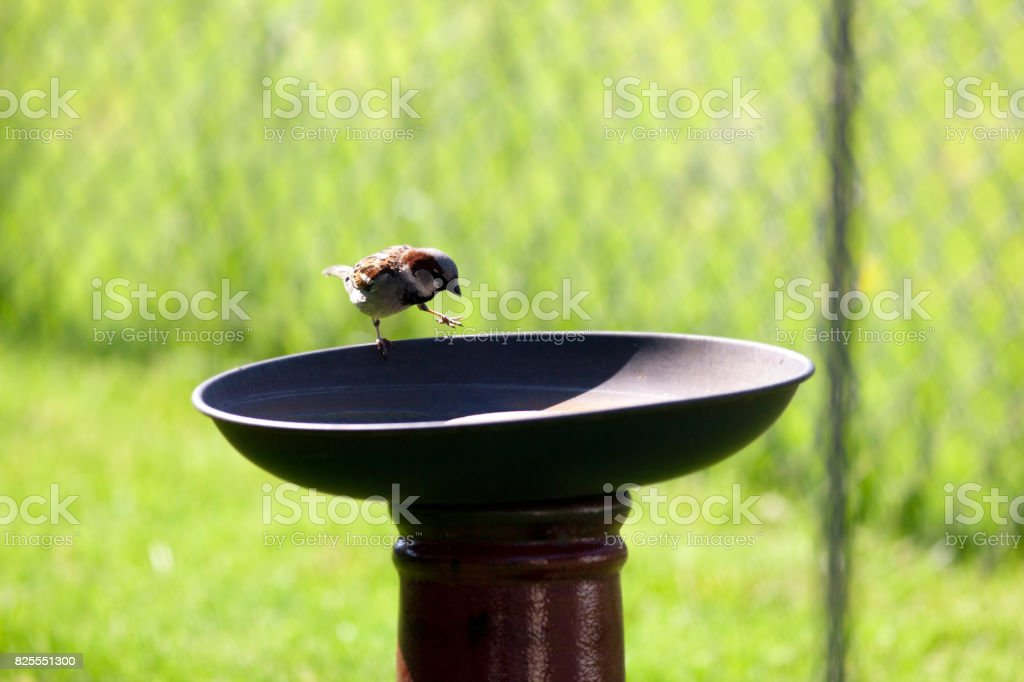 Sparrow Finds Water stock photo