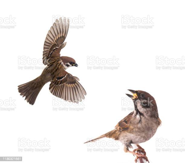 Sparrow flies isolated on white picture id1130321551?b=1&k=6&m=1130321551&s=612x612&h=mcie8xsrijx5qnwammihnh9eqp prpvt4ycph keiyy=