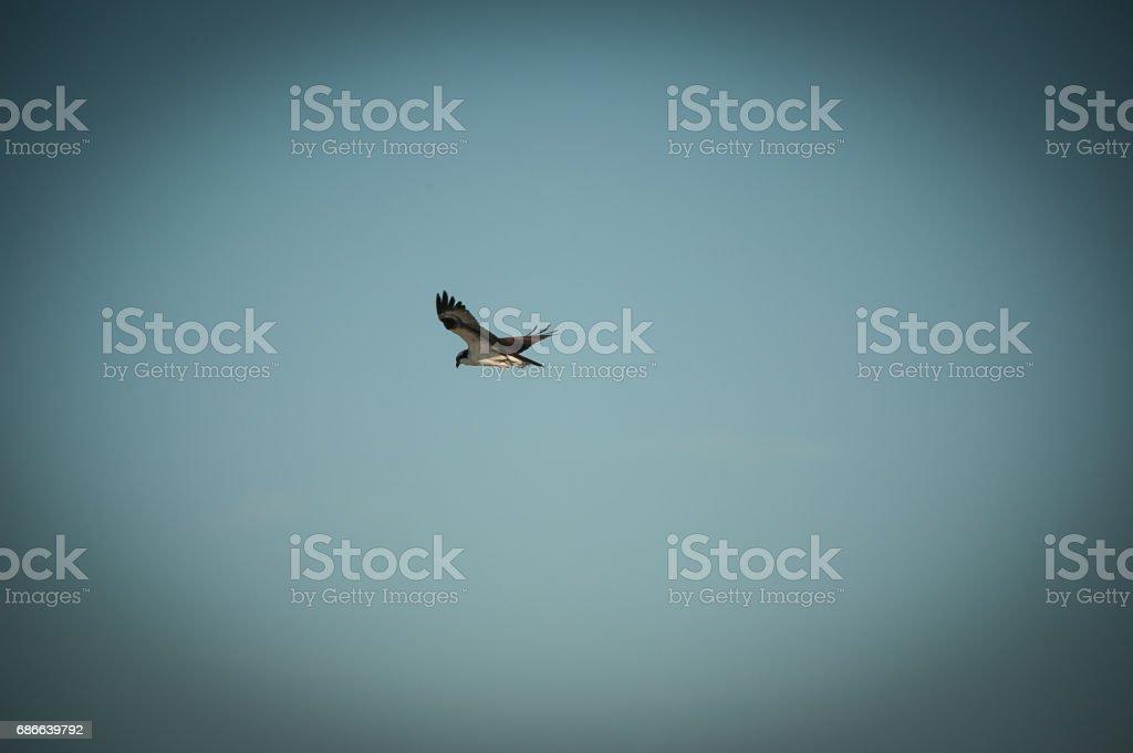 Sparrow Hawk royalty-free stock photo