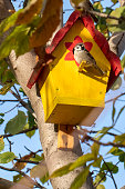 A DSLR photo of a sparrow (Passer domesticus) sitting on a bright yellow birdhouse.