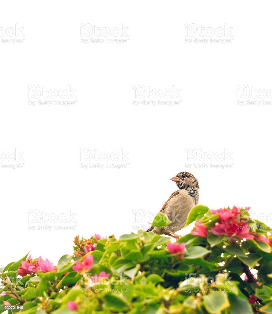 Sparrow in a garden of bougainvillea. Summer background stock photo