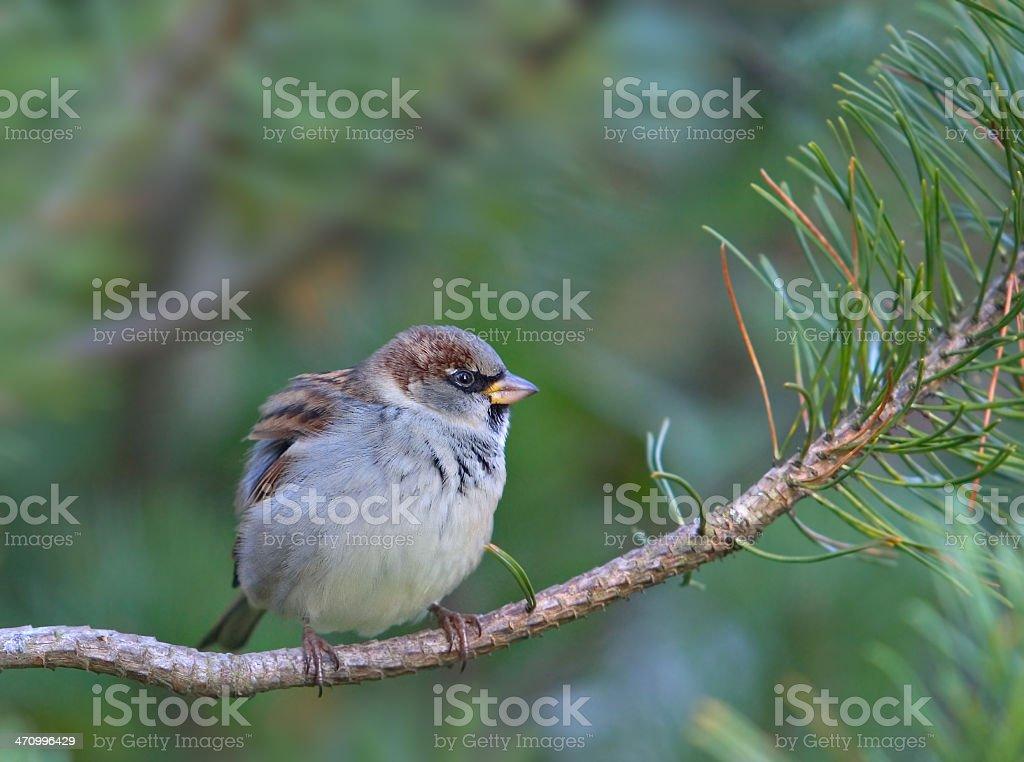 Sperling in einem Baum – Foto