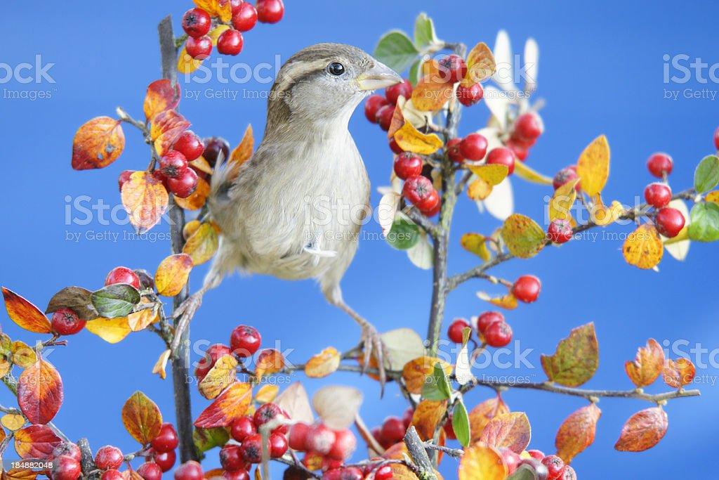 Sparrow in autumn royalty-free stock photo