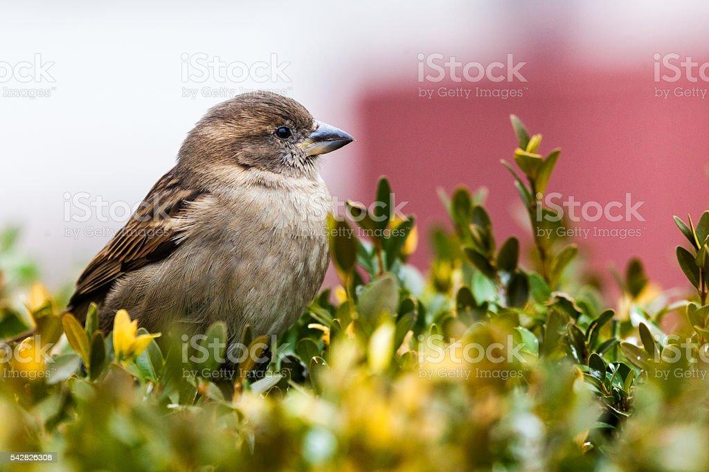 Sparrow in Central Philadelphia stock photo