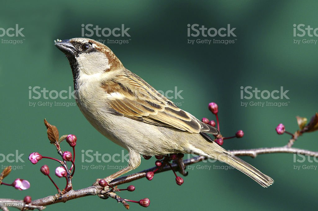 Sparrow in springtime royalty-free stock photo