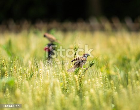 Sparrow in the wheat field