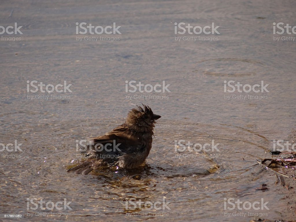 Sparrow in water stock photo