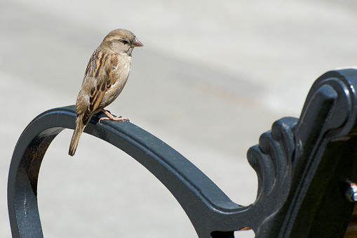 Sparrow is sitting on a bench in a city park. Birds living next to people.