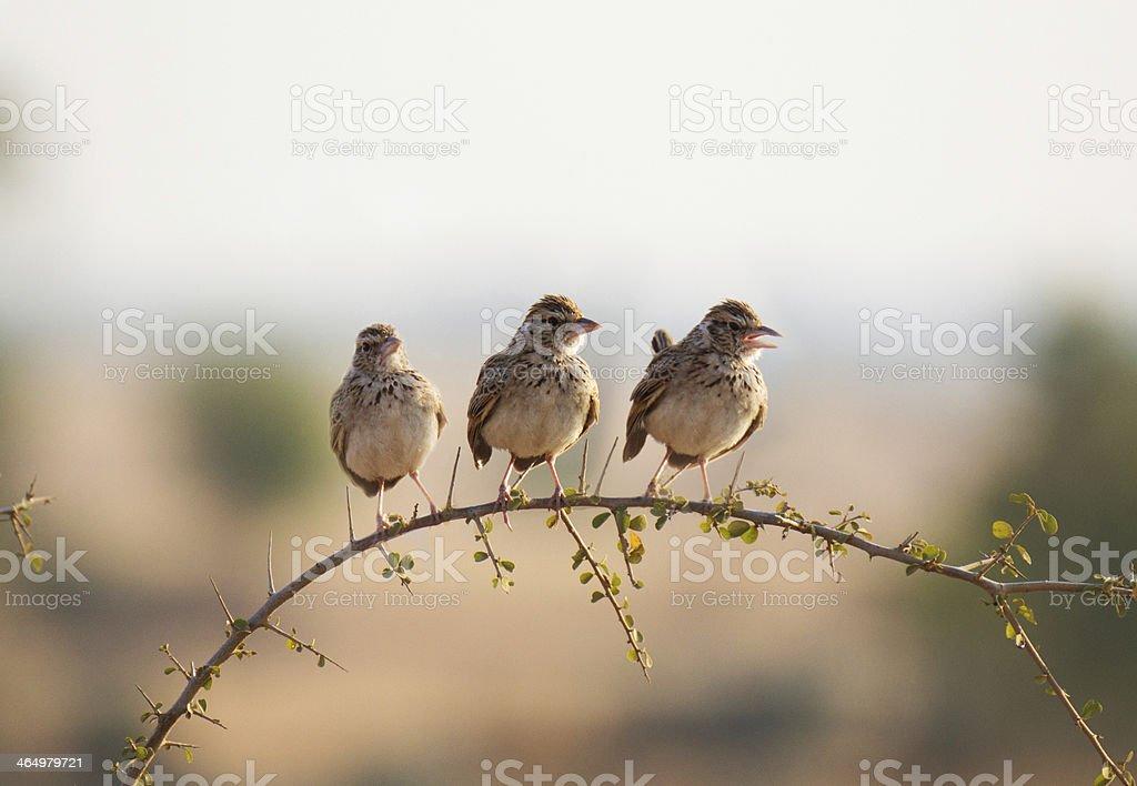 Sparrow Lark stock photo