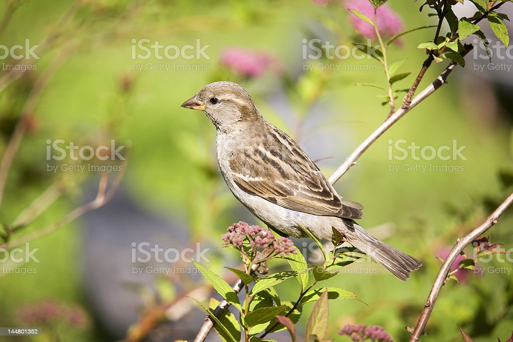 Sparrow on a  branch royalty-free stock photo