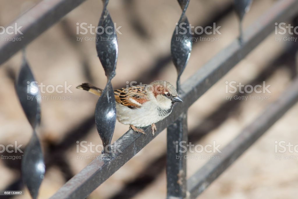 sparrow on a metal fence royalty-free stock photo
