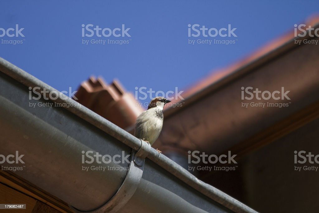 sparrow on a roof stock photo