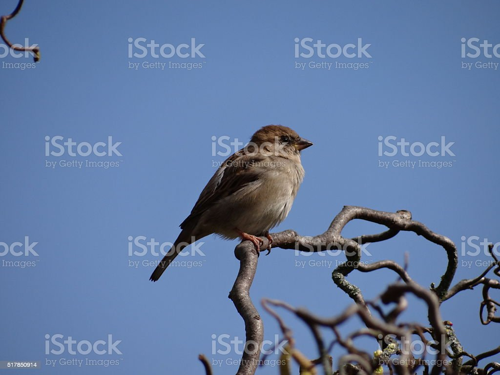Sparrow on a small branch stock photo