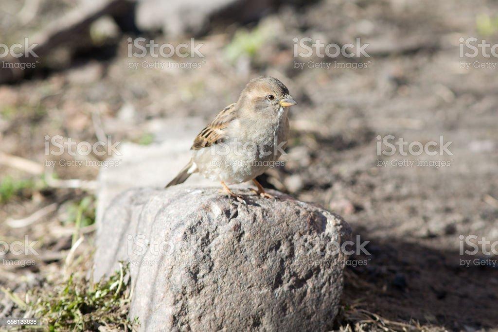 sparrow on a stone royalty-free stock photo