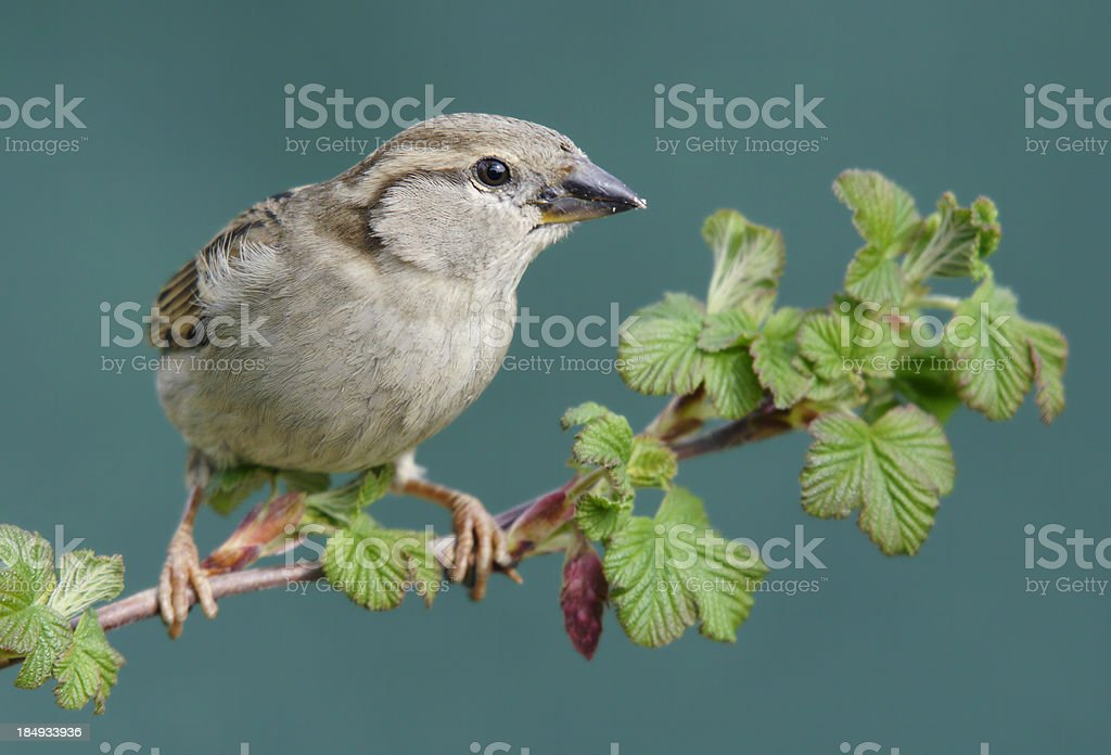 Sparrow on a twig royalty-free stock photo