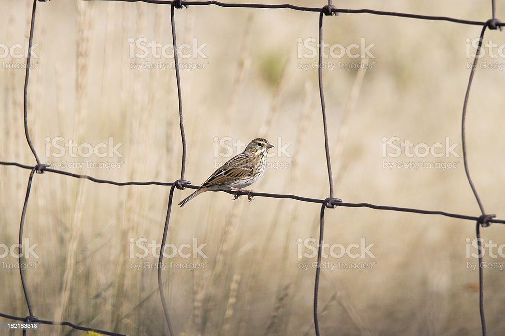 Sparrow on a wire fence stock photo