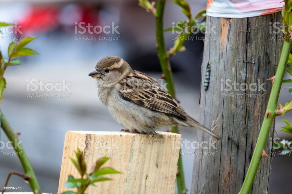 A sparrow on a wooden log in a rogue garden on berlins former airport Tempelhof stock photo