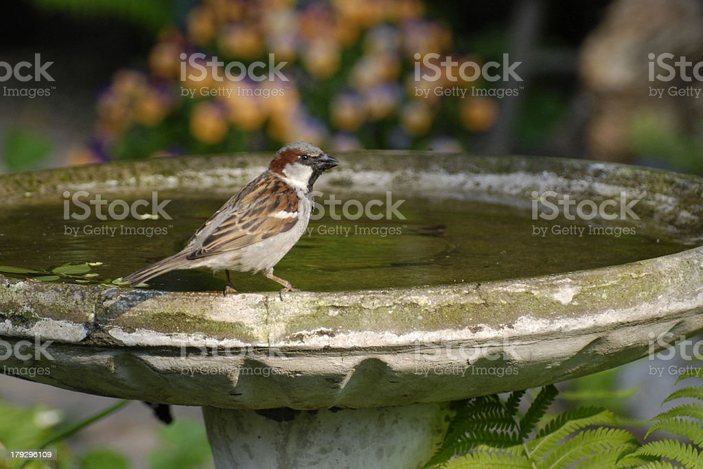 Sparrow on Birdbath stock photo