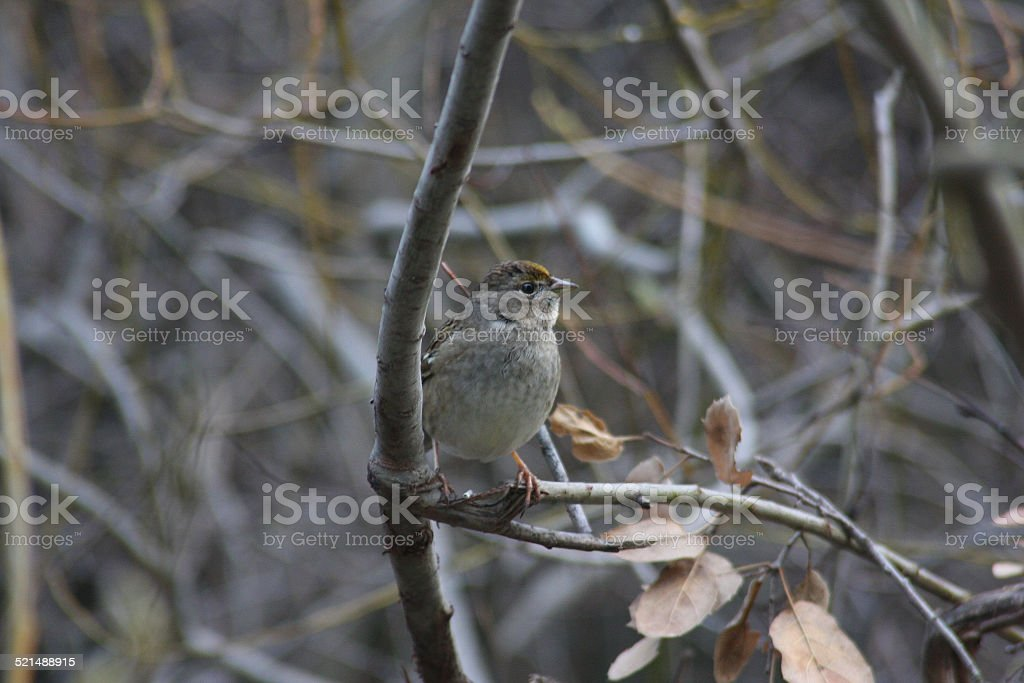 Sparrow on Branch stock photo