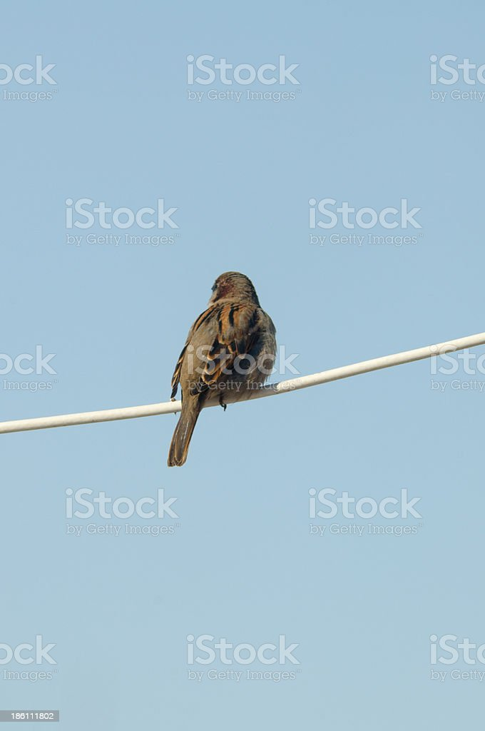 Sparrow on electric line royalty-free stock photo
