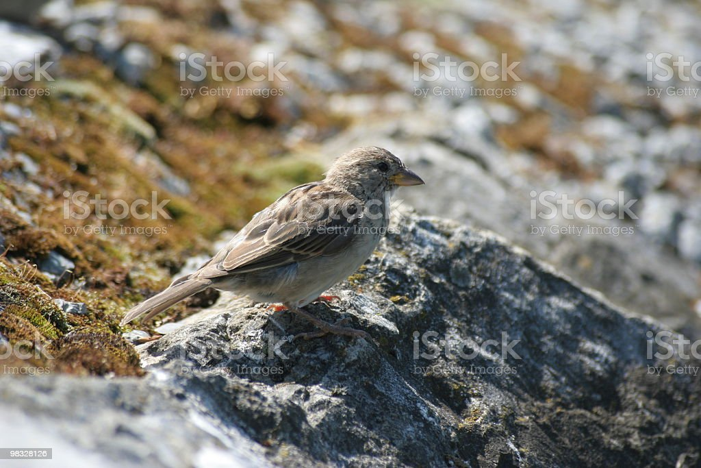 Sparrow on rock royalty-free stock photo