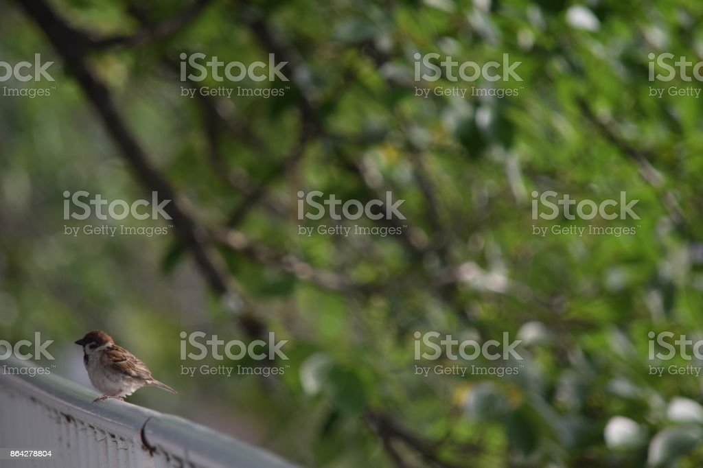 Sparrow on the fence royalty-free stock photo