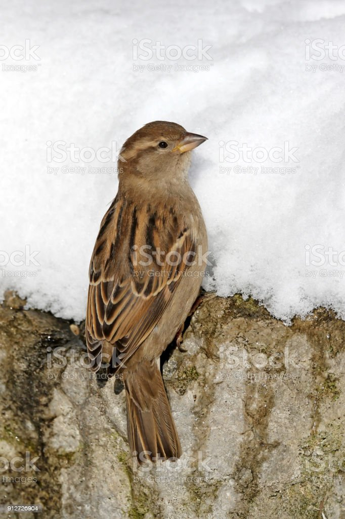 Sparrow on the Rocks stock photo
