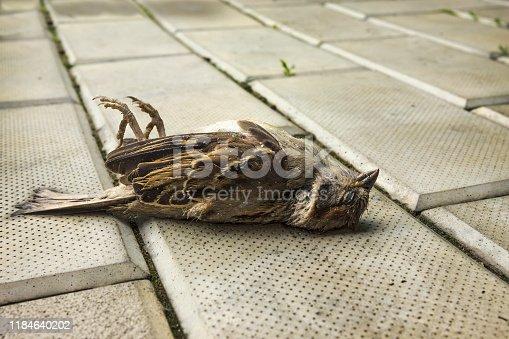 istock Sparrow on the sidewalk. Bird shot down by car 1184640202