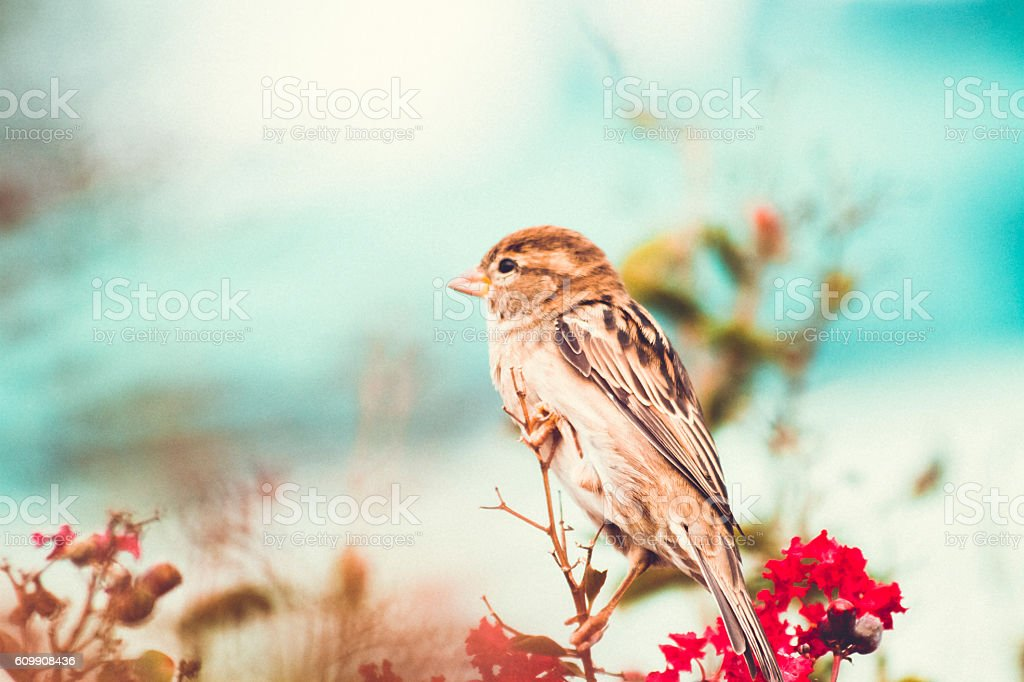 Sparrow perched In A Colourful Fall Myrtle Shrub Sparrow perched In A Colourful Fall Myrtle Shrub.  Shot jn Washington D.C. Animals In The Wild Stock Photo