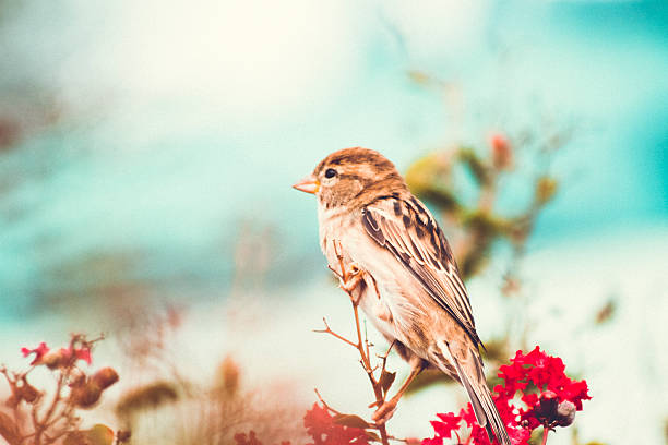 Sparrow perched In A Colourful Fall Myrtle Shrub stock photo
