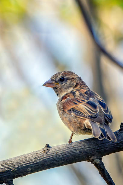 Sparrow perched in a tree stock photo